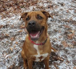 Boxador Dog For Adoption in Rockaway, NJ, USA