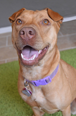 Chinese Shar-Pei Mix Dog For Adoption in Raytown, MO