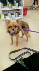 Chiranian Dog For Adoption in Ponca City, OK, USA