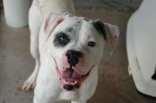 American Bulldog Dog For Adoption in Crossville, TN, USA