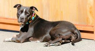 American Pit Bull Terrier Mix Dog For Adoption in Junction Cityu, OR, USA