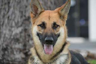 German Shepherd Dog Dog For Adoption in Irvine, CA, USA