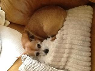 Chihuahua Dog For Adoption in Rancho Santa Margarita, CA