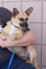 Jack Chi Dog For Adoption in Marathon, RI, USA