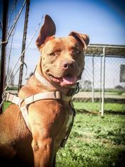 Staffordshire Bull Terrier Mix Dog For Adoption in Lemoore, CA, USA