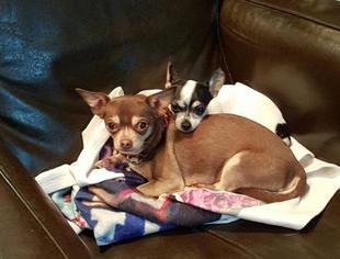 Chihuahua Dog For Adoption in Rockaway, NJ, USA