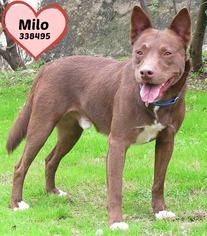 Mutt Dog For Adoption in San Antonio, TX, USA