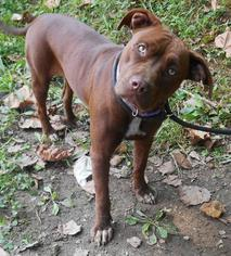 American Pit Bull Terrier Dog For Adoption in White Bluff, TN, USA