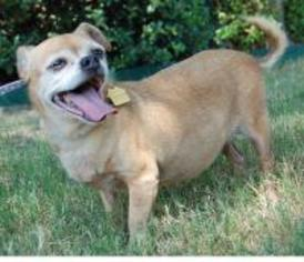 View Ad: Chug Dog for Adoption near Texas, Dallas, USA  ADN
