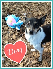 Rat Terrier Dog For Adoption in Raleigh, NC
