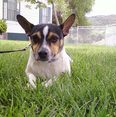 Rat Terrier Mix Dog For Adoption in Encino, CA