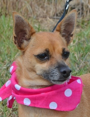 Chiweenie Dog For Adoption in Liverpool, TX, USA