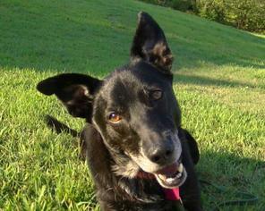 Labrador Retriever Mix Dog For Adoption in Brighton, TN, USA
