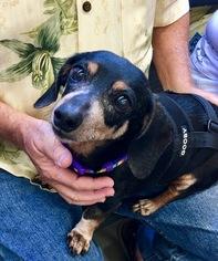 Dachshund Dog For Adoption in Dallas, TX, USA
