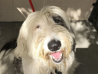 Old English Sheepdog Dogs for adoption in pomona, CA, USA