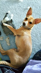 Chihuahua-Unknown Mix Dog For Adoption in Redondo Beach, CA, USA