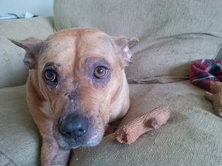 American Staffordshire Terrier-Mastiff Mix Dog For Adoption in Phoenixville, PA