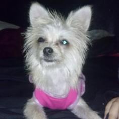Pomeranian Mix Dog For Adoption in Rancho Santa Margarita, CA, USA