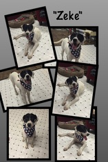 Boxer-Pointer Mix Dog For Adoption in Del Rio, TX, USA