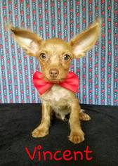 View Ad: Chihuahua-Norwich Terrier Mix Dog for Adoption near Texas