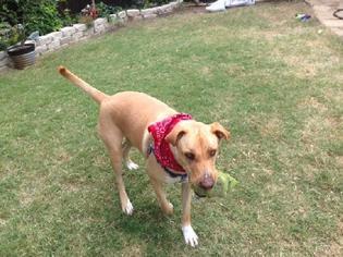 Labrador Retriever Mix Dog For Adoption in Denton, TX, USA
