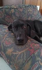 Great Dane Dog For Adoption in Siren, WI