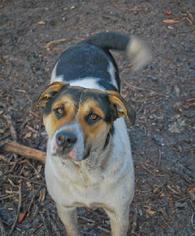 Sheprador Dog For Adoption in Pembroke, GA, USA