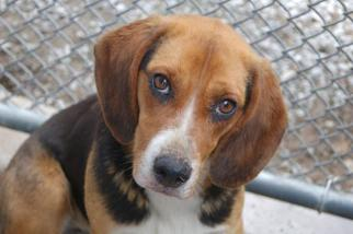 Beagle Mix Dog For Adoption in Crossville, TN, USA