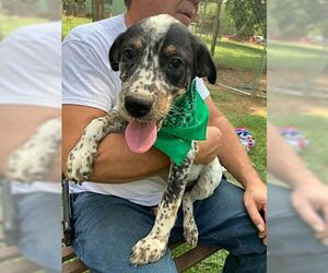 Bluetick Coonhound-Labrador Retriever Mix Dogs for adoption in Birmingham, AL, USA