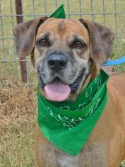 Labrador Retriever Mix Dog For Adoption in Liverpool, TX