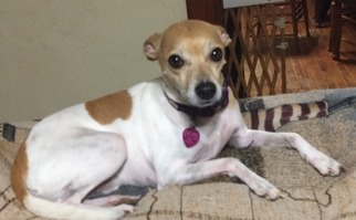 greyhound terrier mix