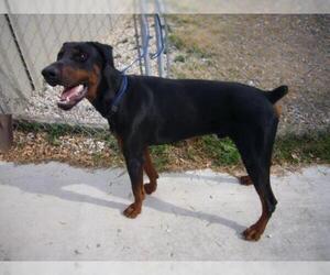 Doberman Pinscher Dogs for adoption in Devine, TX, USA