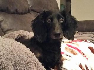 Dachshund Dog For Adoption in Coatesville, PA, USA