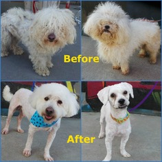 Bichon Frise Mix Dog For Adoption in Los Angeles, CA