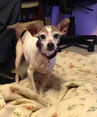 Rat Terrier Dog For Adoption in Texarkana, TX