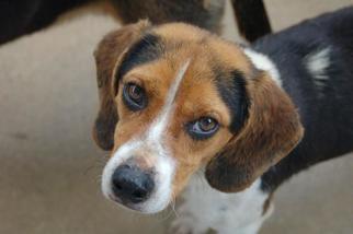Beagle Dog For Adoption in Crossville, TN, USA