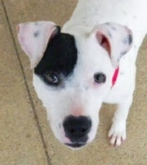 American Pit Bull Terrier-Dalmatian Mix Dog For Adoption in Alexandria, VA