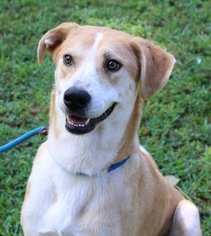 Collie-Labrador Retriever Mix Dog For Adoption in Yardley, PA