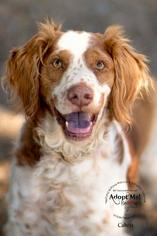 Brittany Dog For Adoption in Curwensville, PA, USA