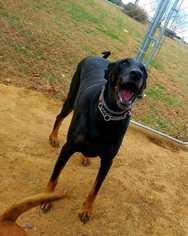 Doberman Pinscher Great Dane Mix Dog