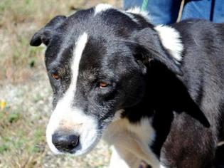 Border Collie-Husky Mix Dog For Adoption in Anniston, AL, USA