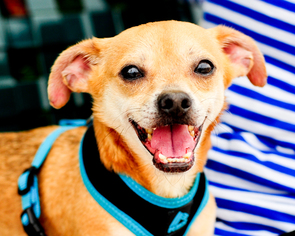 Chug Dog For Adoption in Fort Lauderdale, FL