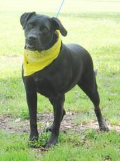 Boxador Dog For Adoption in Lafayette, LA, USA