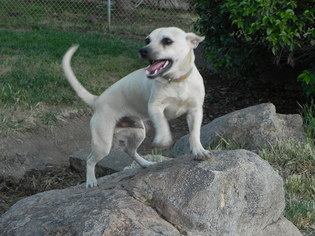 Jack Russell Terrier Mix Dog For Adoption in Fresno, CA