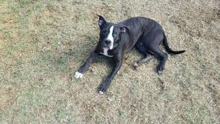Boxer Mix Dog For Adoption in Maricopa, AZ