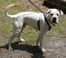 Boxer Dog For Adoption in Little Rock, AR