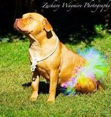 Staffordshire Bull Terrier Dog For Adoption in Maumelle, AR