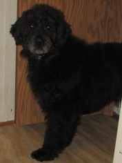 Bouvier Des Flandres Dogs for adoption in Walnutport, PA, USA