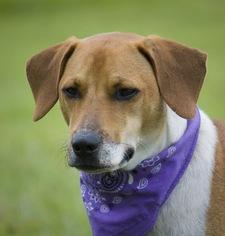 Beagle Dog For Adoption in Sanford, FL