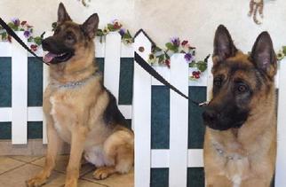 German Shepherd Dog Dog For Adoption in Newport Beach, CA